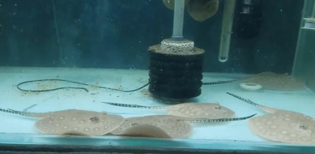 Acuario para rayas de agua dulce
