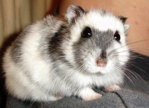 jaulas para hamster ruso recomendadas