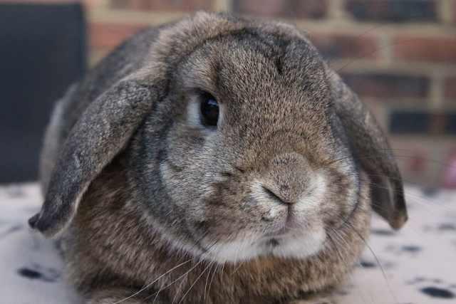 conejo belier con coccidiosis