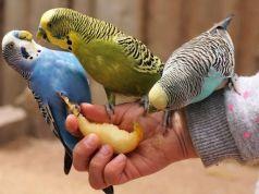 Explicar qué verduras pueden comer los periquitos en cautividad