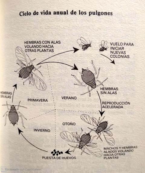 ciclo de vida de los pulgones