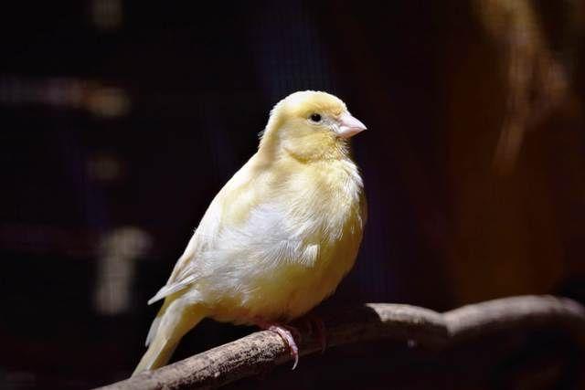 El canto del canario lo hace el macho o la hembra