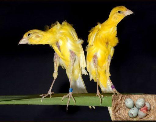 Cuando criar canarios