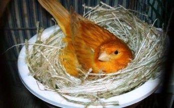 Criar canarios incubación