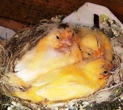 Criar canario, cuando salen del nido