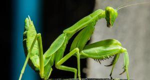 La mantis es venenosa