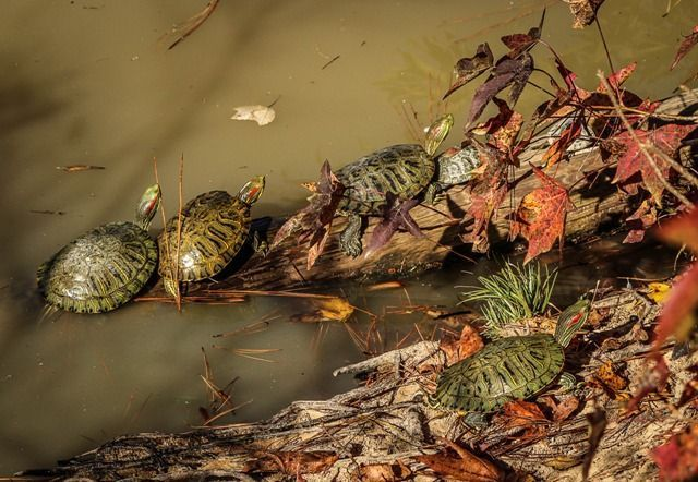 Alimentar a las tortugas en un estanque, alimentos para tortugas