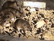 Mus minutoides cuidados raton pigmeo