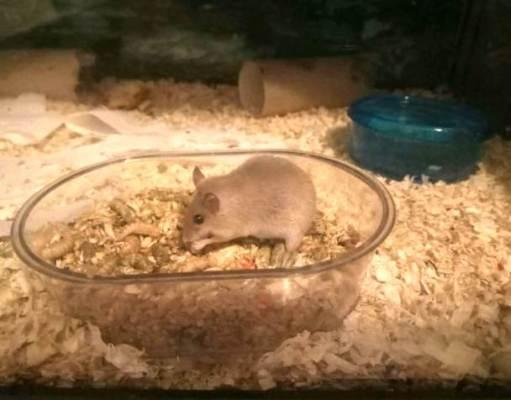 Raton pigmeo comiendo
