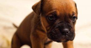 tratamiento cachorro con diarrea