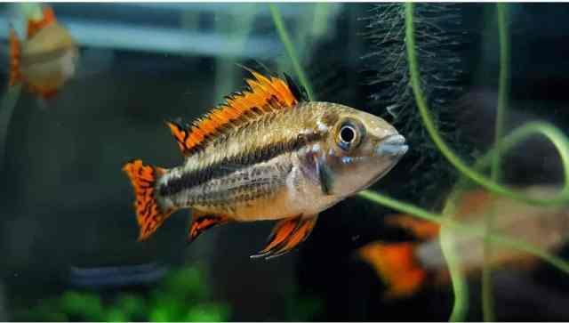 Ciclidos enanos recomendables como peces de acuario