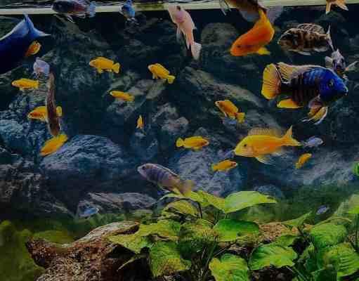 cómo conseguir agua cristalina en el acuario
