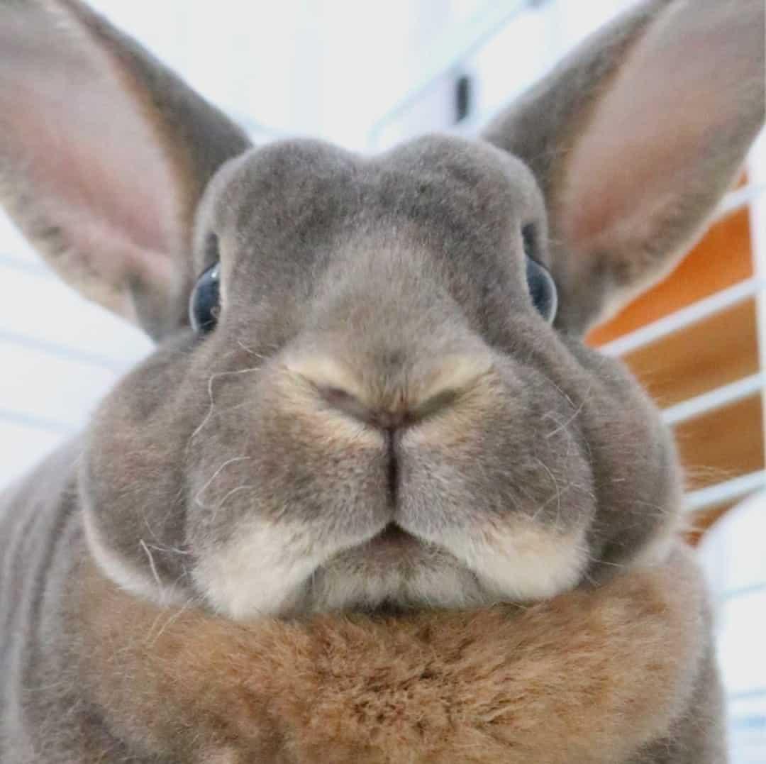 Dar un conejo grande en adopción