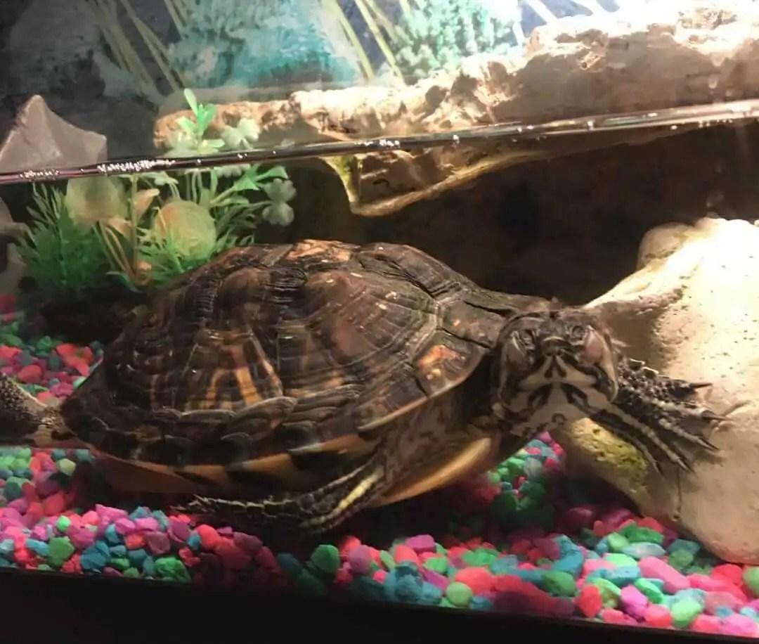 Cómo duermen las tortugas de agua