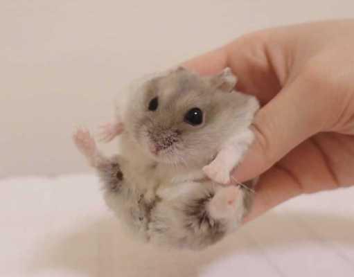 Hamster o perro que elegir