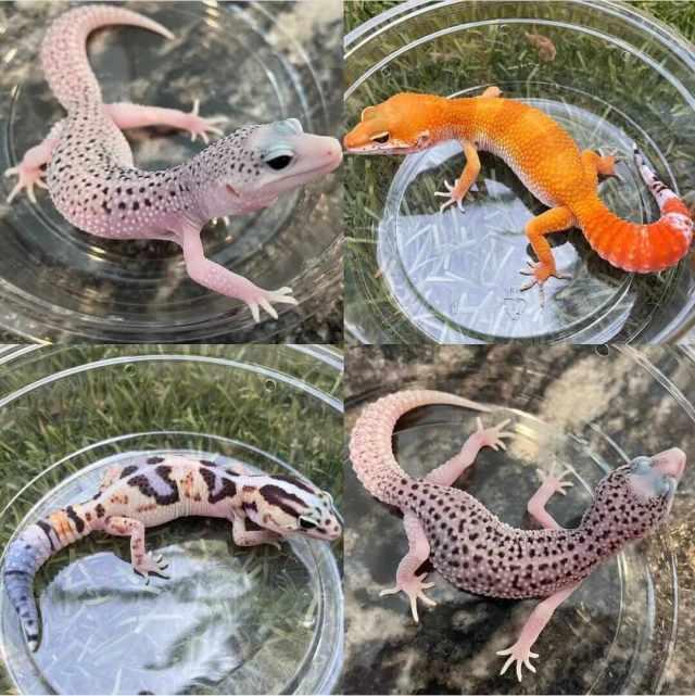 como cuidar de los geckos leopardo