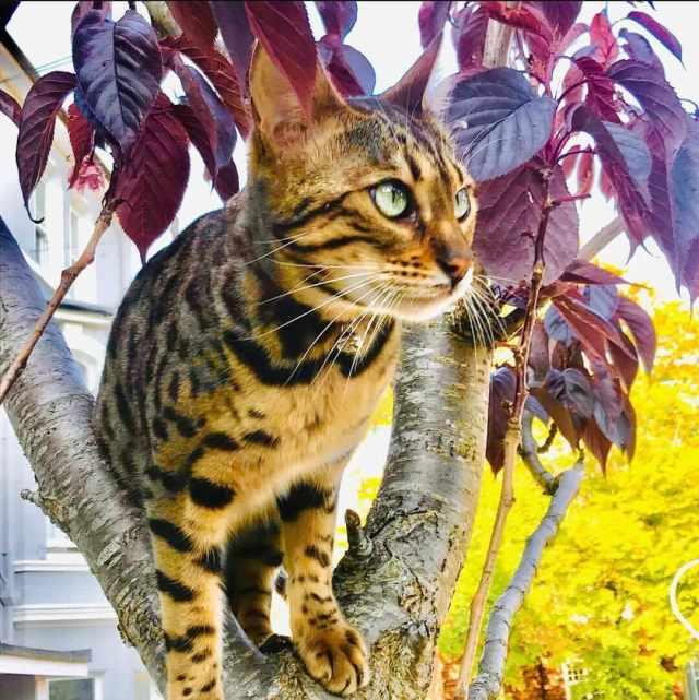 araña los muebles el gato bengalí