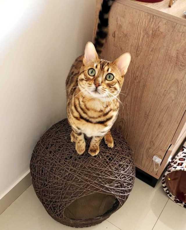 Como se comporta el gato bengalí en casa