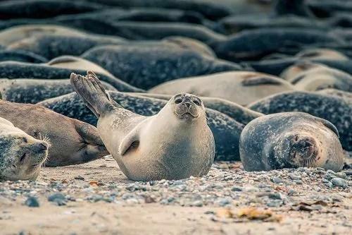 Fanø Veranstaltungen 2020: Seehundsafari