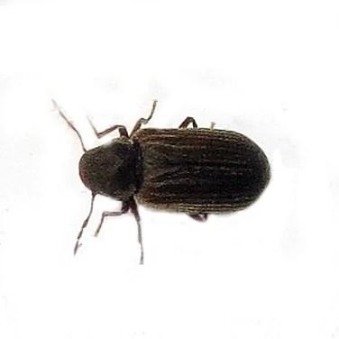 Woodworm Species And Treatment Fantastic Pest Control