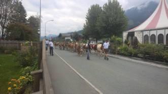 Almabtrieb Brixen im Thale