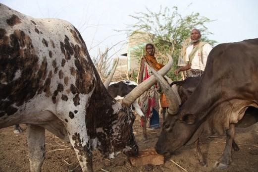 Drought-stricken herders in Ethiopia need urgent support 1