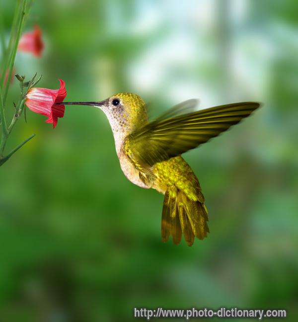 https://i1.wp.com/www.faqs.org/photo-dict/photofiles/list/347/699hummingbird.jpg