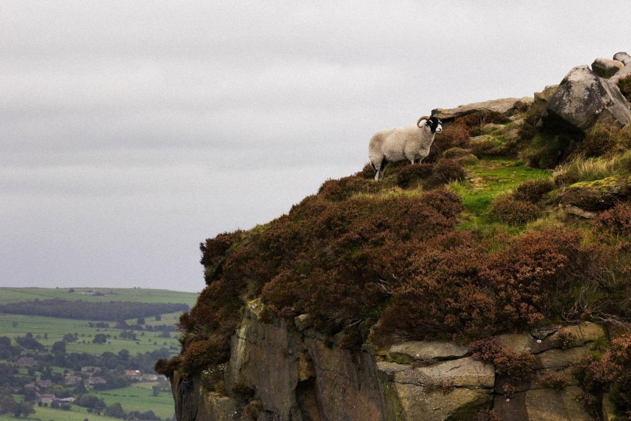 ewe-standing-on-cliff-edge-with-countryside-views-across-ilkley