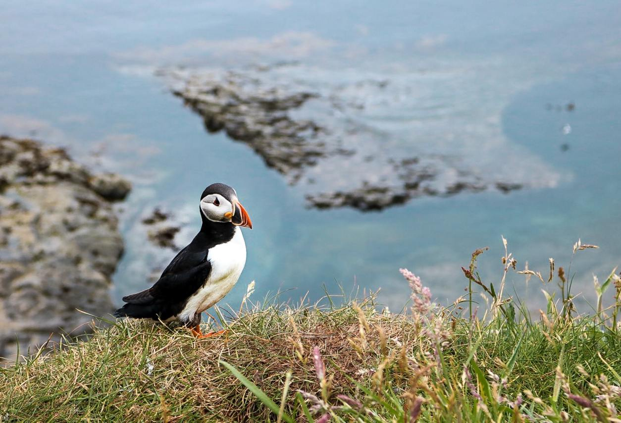 puffin-standing-on-cliffs-with-ocean-in-background-at-isle-of-staffa