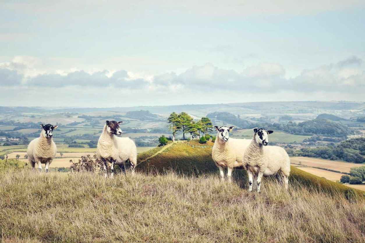 sheep-standing-on-hill-with-countryside-in-background-bridport