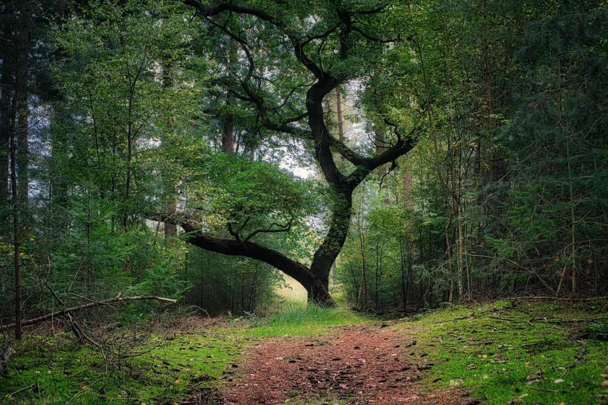 trail-leading-towards-tree-in-woods-forest-utrechtse-heuvelrug