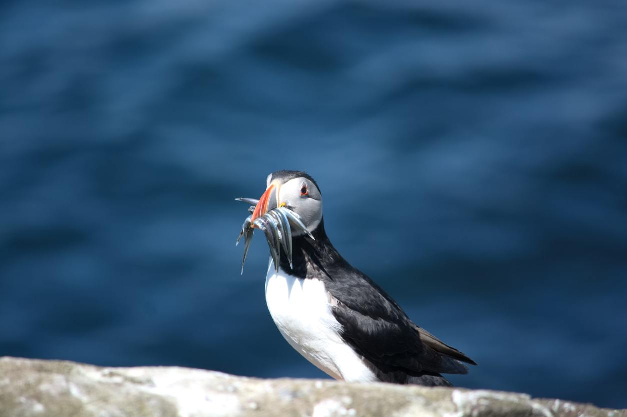 puffin-with-food-in-its-mouth-with-sea-in-background-on-farne-islands