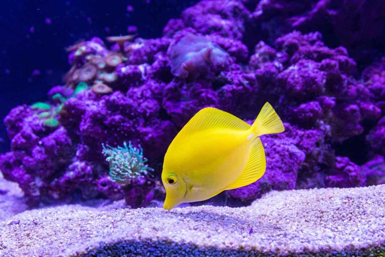 yellow-tang-fish-swimming-in-tank-at-tynemouth-aquarium
