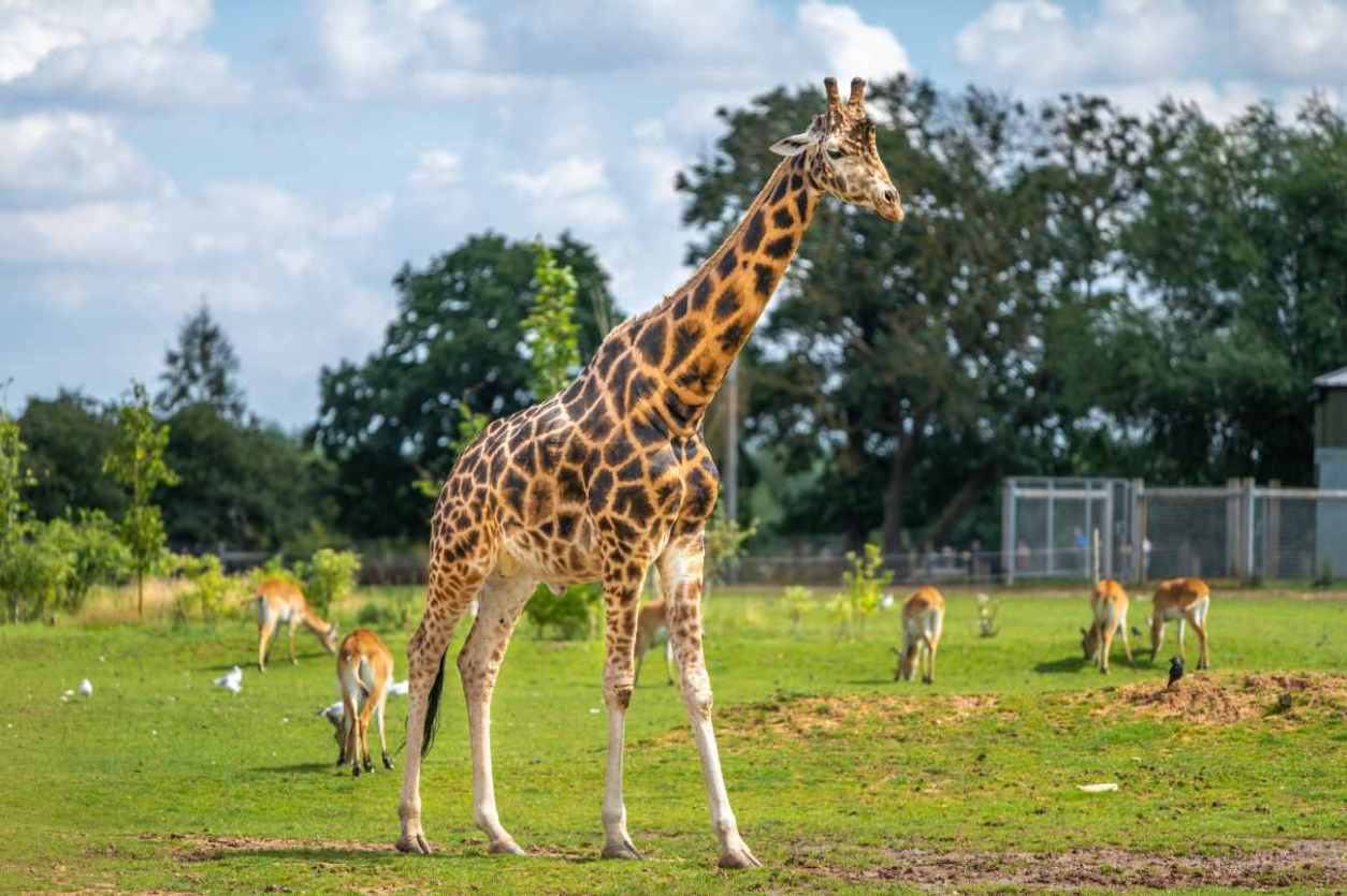 giraffe-walking-around-in-yorkshire-wildlife-park