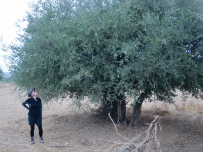 Argan Tree near Taroudant