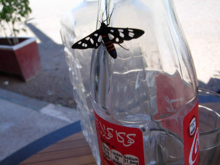 moroccan day moth or butterfly