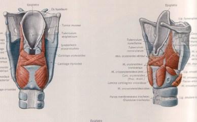 fig. 4 Muscolatura intrinseca laringea
