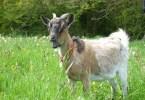 bergamote la chèvre naine