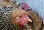 poule brahma couve