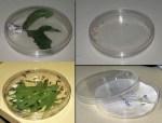 Capsula Petri standard (diametro 9 cm)
