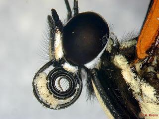 Particolare della spiritromba carica di polline di Heliconius ethilla