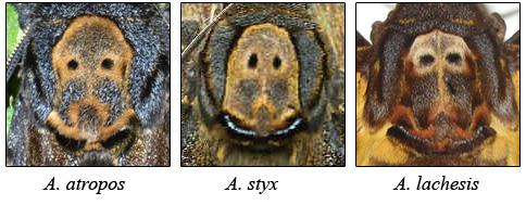 Particolare del disegno sul torace delle 3 specie di Sfinge testa di morto: Acherontia atropos, Acherontia styx e Acherontia lachesis
