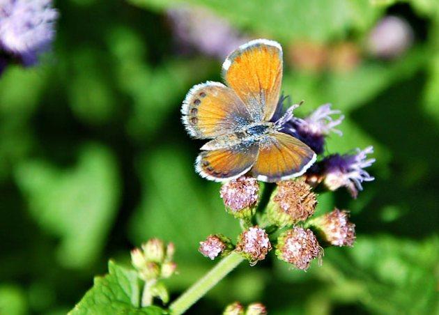 Brephidium exilis © Foto per gentile concessione di Bron Praslicka