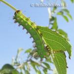Pavonia maggiore (Saturnia pyri) – 10 bruchi piccoli