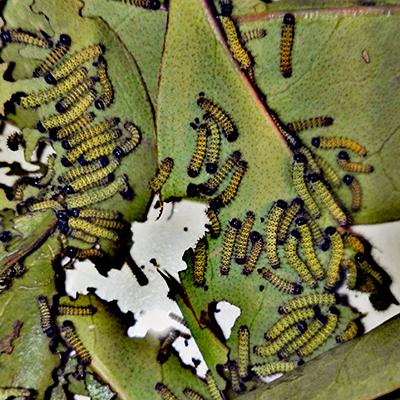 Samia ricini x canningi - bruchi piccoli