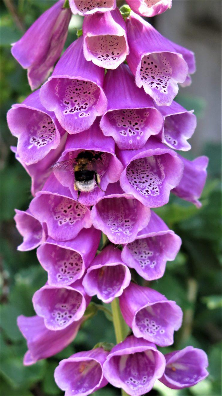 DM_Bee collecting pollen