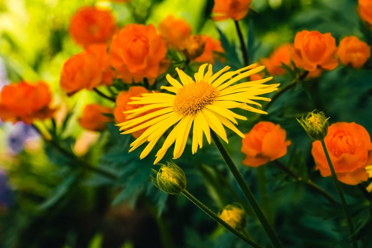 L'Arnica Montana, un'erba medicinale dalle innumerevoli proprietà