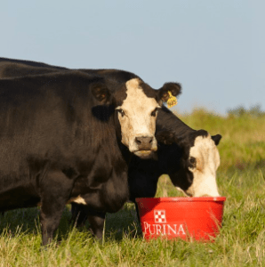 Cattles eating Mineral rich food