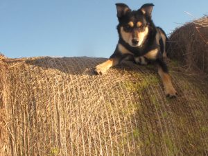 """""""Pop's cattle dog Nugget."""" Image by Clancy Timperon"""