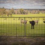 O019 - Grazing Cattle Stare